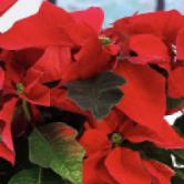 Fleurir Noël, du producteur au consommateur